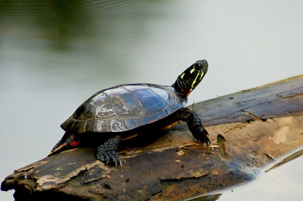 Painted_Turtle_on_a_log_mirrored